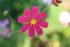 The close-up pink Calliopsis Royalty Free Stock Image