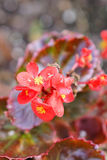 Close-up Pink chaenomeles japonica flower Stock Photo