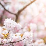 Close up of pink cherry blossom-sakura Stock Image