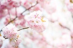 Close up of pink cherry blossom-sakura Stock Photo