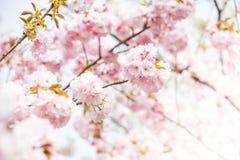 Close up of pink cherry blossom-sakura Stock Photos