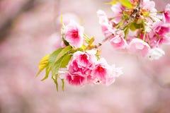 Close up of pink cherry blossom-sakura Royalty Free Stock Photography