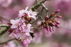 Close up of pink cherry blossom Royalty Free Stock Photos