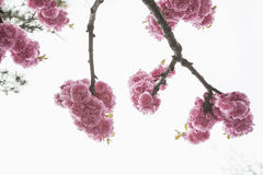 Close-up of pink cherry blossoms. Royalty Free Stock Image