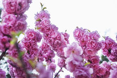 Close-up of pink cherry blossoms. stock photos