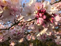 Close up of pink cherry blossoms on a bright spring day. Close up of pink and white cherry blossoms on a bright spring day Stock Photography