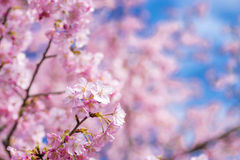 Close up pink cherry blossoms Royalty Free Stock Image