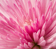 Close up pink chrysanthemum Royalty Free Stock Images