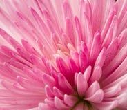 Close up pink chrysanthemum. Flower Royalty Free Stock Images