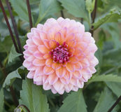 Close up of pink chrysanthemum flower Stock Image