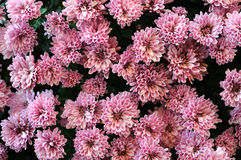 Close-up of pink chrysanthemum flowers Royalty Free Stock Images