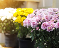 Close up pink chrysanthemum flowers royalty free stock images