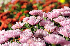 Close-up of pink chrysanthemum flowers at the foreground in the Royalty Free Stock Photography