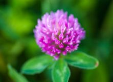 Close up of the pink clover flower Stock Photos