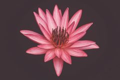 Close up pink color fresh lotus blossom or water lily flower blooming on pond background, Nymphaeaceae. Close up pink color fresh lotus blossom or water lily royalty free stock image