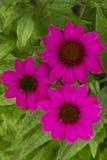 Close-up Pink Coneflowers Echinacea Stock Image