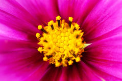 Close Up Of Pink Cosmea Flower Royalty Free Stock Images