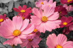 Close-up pink Cosmos with black and white background Royalty Free Stock Photo