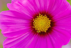 Close up pink cosmos flower (Cosmos Bipinnatus) use for backgrou Royalty Free Stock Images