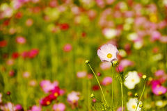 Close up pink cosmos flower field Royalty Free Stock Images