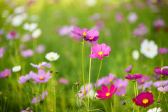Close up pink cosmos flower field Royalty Free Stock Image