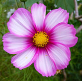 Close-up of a Pink Cosmos Flower Royalty Free Stock Image