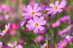 Close up pink cosmos flowers Royalty Free Stock Image