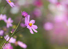 Close up pink cosmos flowers Stock Image