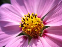 Close up of pink cosmos stamens royalty free stock images