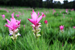 Close up pink curcuma Stock Photography