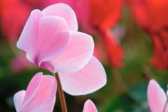 Cyclamen flower. The close-up of pink cyclamen flower. Scientific name: Cyclamen persicum stock images