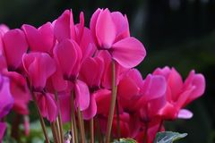 Cyclamen flowers. The close-up of pink cyclamen flowers. Scientific name: Cyclamen persicum Royalty Free Stock Images
