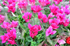 Close up of pink cyclamen flowers with their ornamental leaves cultivated as indoor houseplants at a nursery Stock Photography