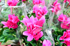 Close up of pink cyclamen flowers with their ornamental leaves cultivated as indoor houseplants at a nursery Stock Photos