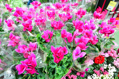Close up of pink cyclamen flowers with their ornamental leaves cultivated as indoor houseplants at a nursery Royalty Free Stock Photo