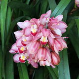 Close up pink cymbidium flower, orchid Stock Image
