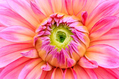 Close-up pink dahlia in bloom. In a Japanese garden near Tokyo Royalty Free Stock Photo