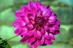 A Close-up of Pink Dahlia flower. stock images