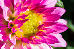 Close up of pink dahlia flower. With yellow pollen Royalty Free Stock Photography