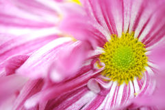 Close up of pink daisy Royalty Free Stock Photo