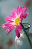 Close up of Pink daisy flower Royalty Free Stock Photos