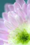 Close up of Pink Daisy Flower stock photography