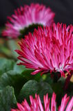 Close up of pink daisy flower Royalty Free Stock Images
