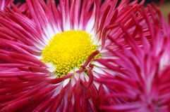 Close up of pink daisy flower Royalty Free Stock Image