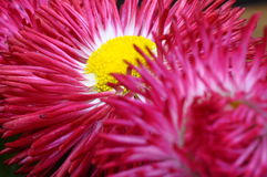 Close up of pink daisy flower Stock Image
