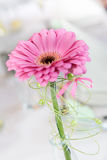 Close up pink daisy flower Royalty Free Stock Photography