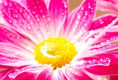 Close-up of pink daisy-gerbera Royalty Free Stock Photo
