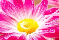 Close-up of pink daisy-gerbera Royalty Free Stock Photo