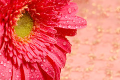 Close-up of a pink daisy in a silk golden background. With water droplets Royalty Free Stock Photo