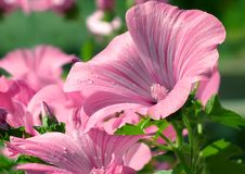 Close up of pink delicate lavatera. Pink funnel-shaped flowers of Lavatera with drops of water after a rain. Floral background Stock Images